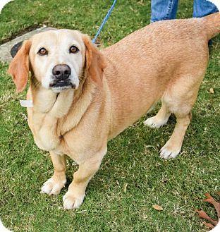 Folsom La Basset Hound Labrador Retriever Mix Meet Jake A Dog