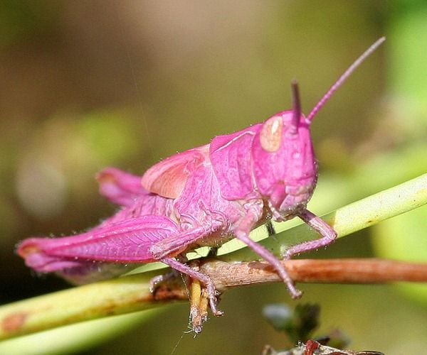 Pink Grasshopper Insect Photography Cute Frogs Cool Bugs