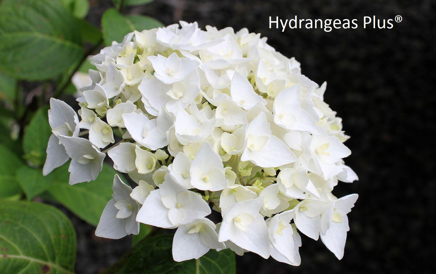 Hydrangea Macrophylla Blushing Bride Blushing Bride Hydrangea Hydrangea Not Blooming Hydrangea Macrophylla