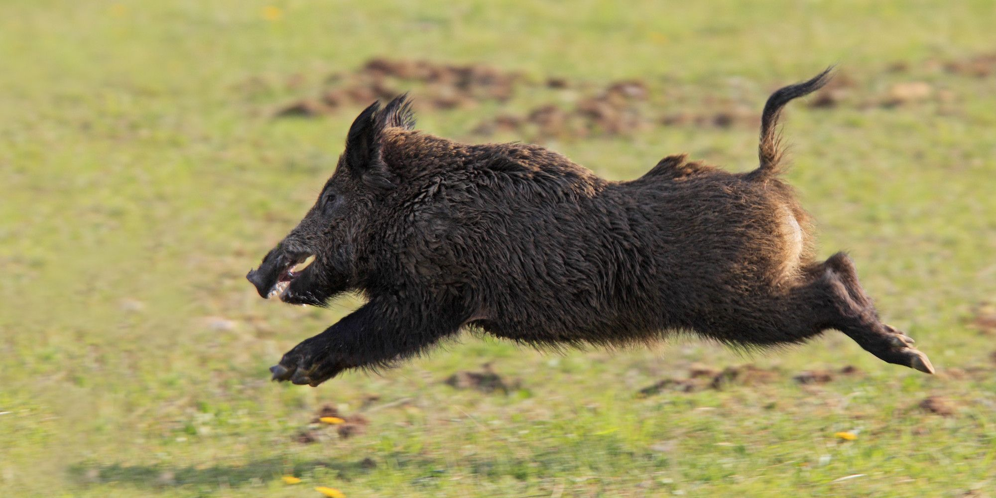 Wild Boar by Thomas Marth on 500px HD: These dudes live down the ...