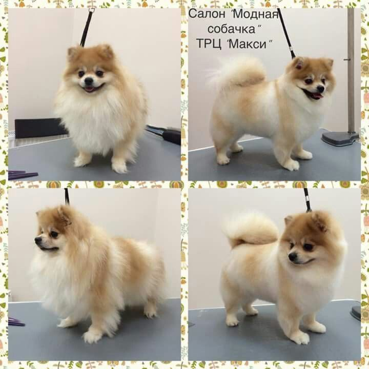 Pomeranian Haircut Yorkie Grooming Salon Pet Grooming Yorkshire Terrier Dog Dog