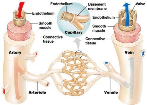 Blood vessel | anatomy | Britannica.com