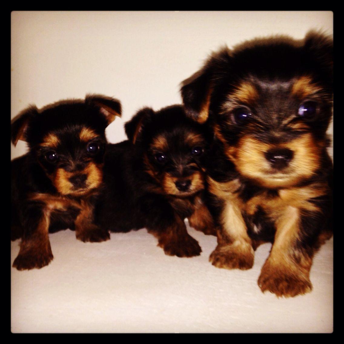 Yorkie Puppies Yorkie Puppy Puppies Puppy Love