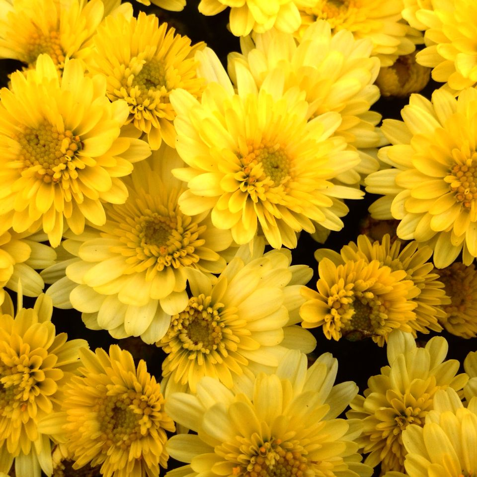 Yellow chrysanthemums shot taken with my iphone цветы цум