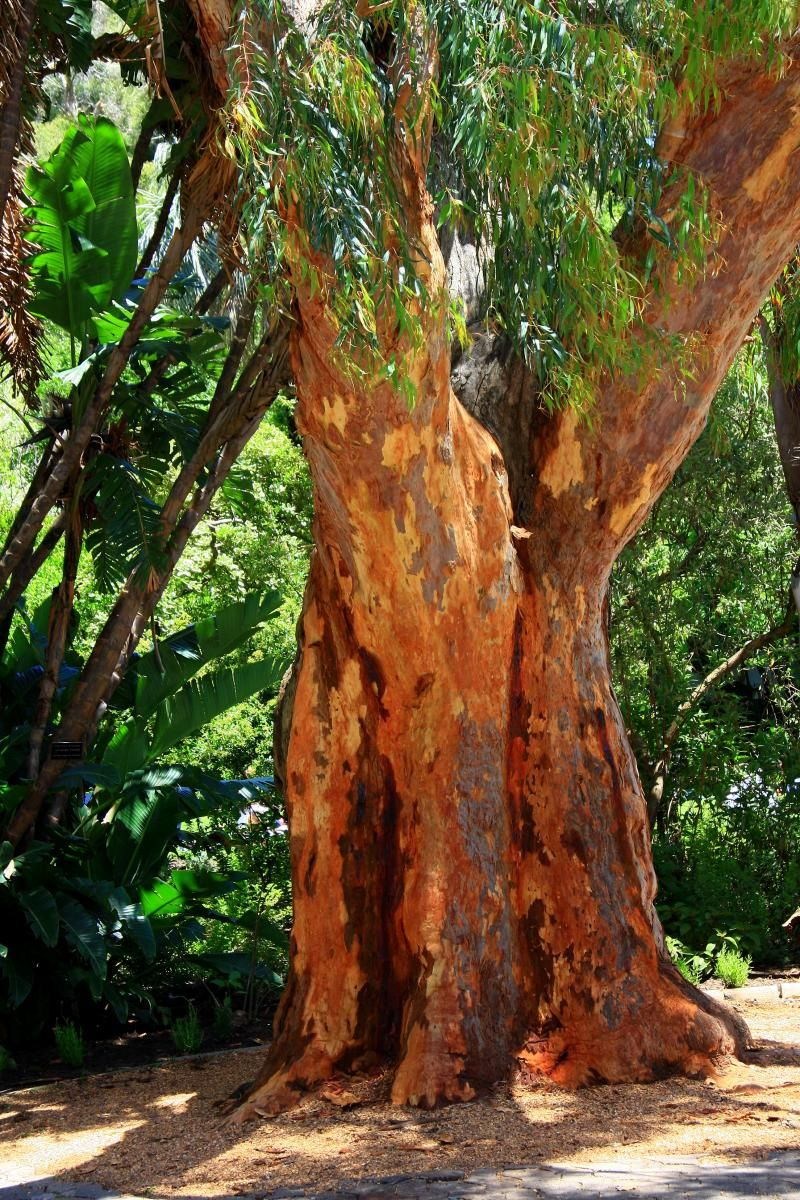 River Red Gum Tree Australian Native Plants Tree Landscape Plans