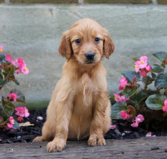 Annie Golden Irish Puppy For Sale In Paradise Pa Lancaster Puppies Lancaster Puppies Puppies For Sale Puppies