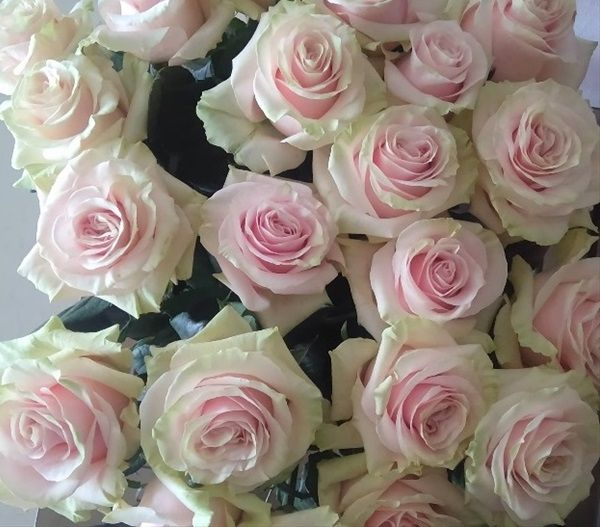 f34f977ee567 Pink Mondial - Standard Rose - Roses - Flowers by category