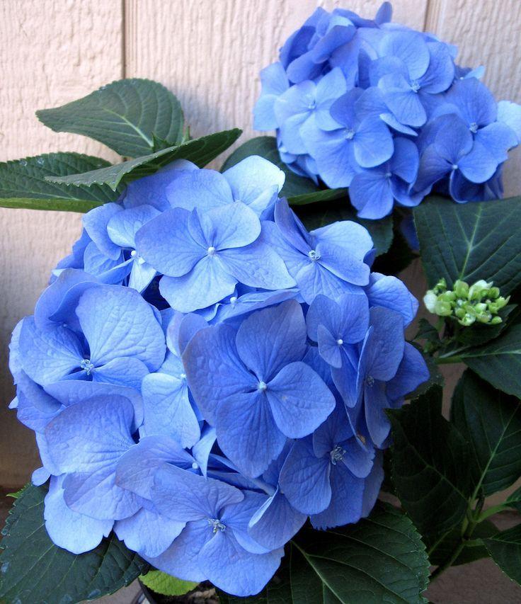 pin von sunflower auf hortensienhydrangea blue