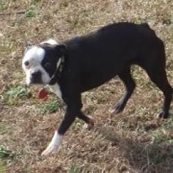 Holly Is An Adoptable Boston Terrier Dog In Greensboro Nc I M