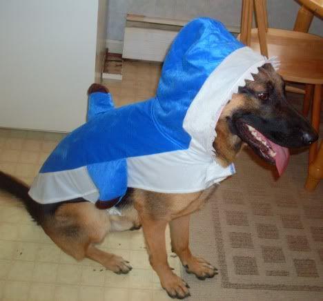 Odin S Halloween Costume German Shepherd Dog Forums German