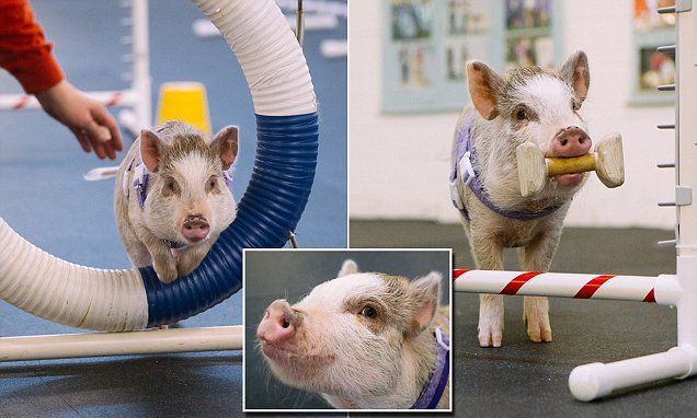A Snort Among Barks Amy The Pig Excels In Dog Agility Class
