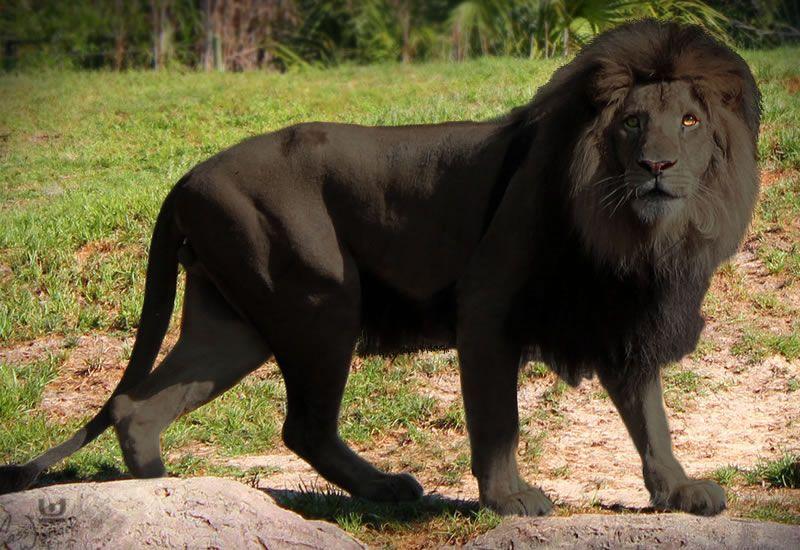 Animal Images Taken On African Safari Confirms Black Lions Really Exist 2 Jpg 800 550 Black Lion Lions Animals