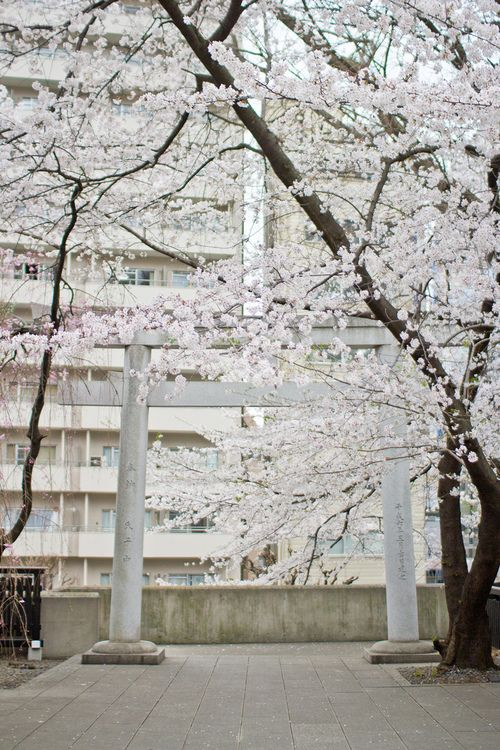 japan, tree, and sakura-bild