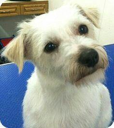Maltese cross Mini Wire Haired Fox Terrier...