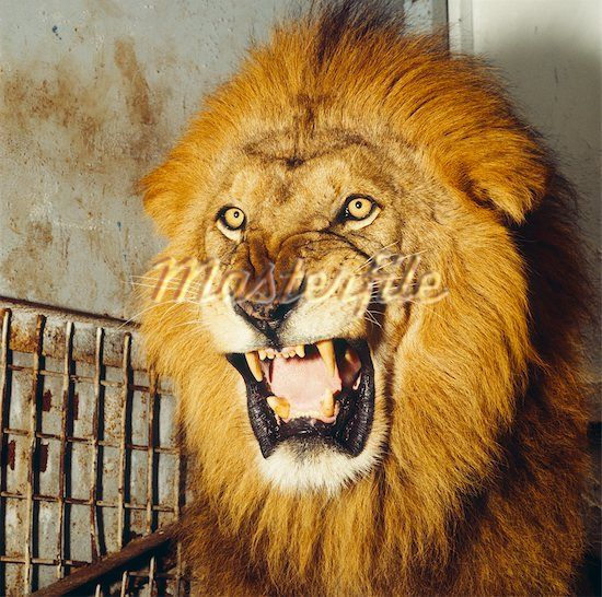 Ferocious lion roar Stock Photos - 1/2