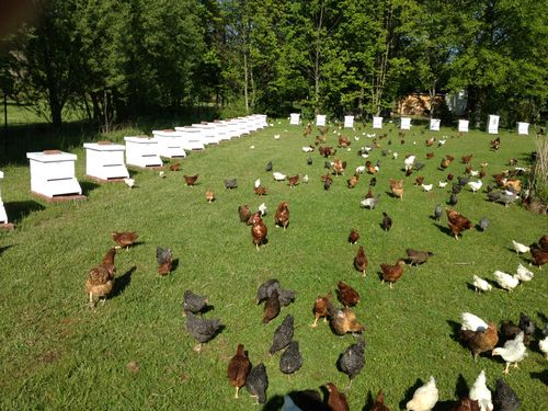 At Bee Sweet Honey Farms LLC., they use poultry to maintain a clean beeyard. Chickens help protect colonies from mites and other predatory insects; as opposed to using chemicals and pesticides.