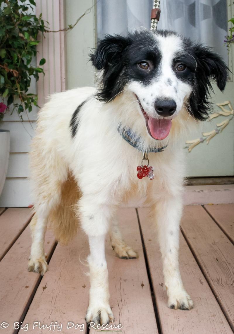 Adopt Opa On Big Fluffy Dog Rescue Big Fluffy Dogs Fluffy Dogs