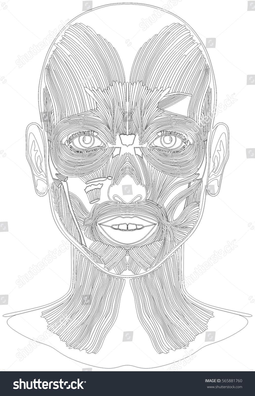 Human Face Muscles Anatomy Line Art Stock Illustration