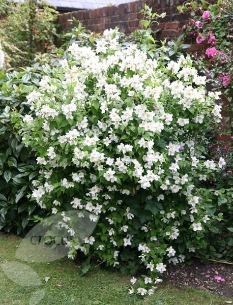 buy mock orange philadelphus 39 belle etoile 39 delivery by white garden idea. Black Bedroom Furniture Sets. Home Design Ideas