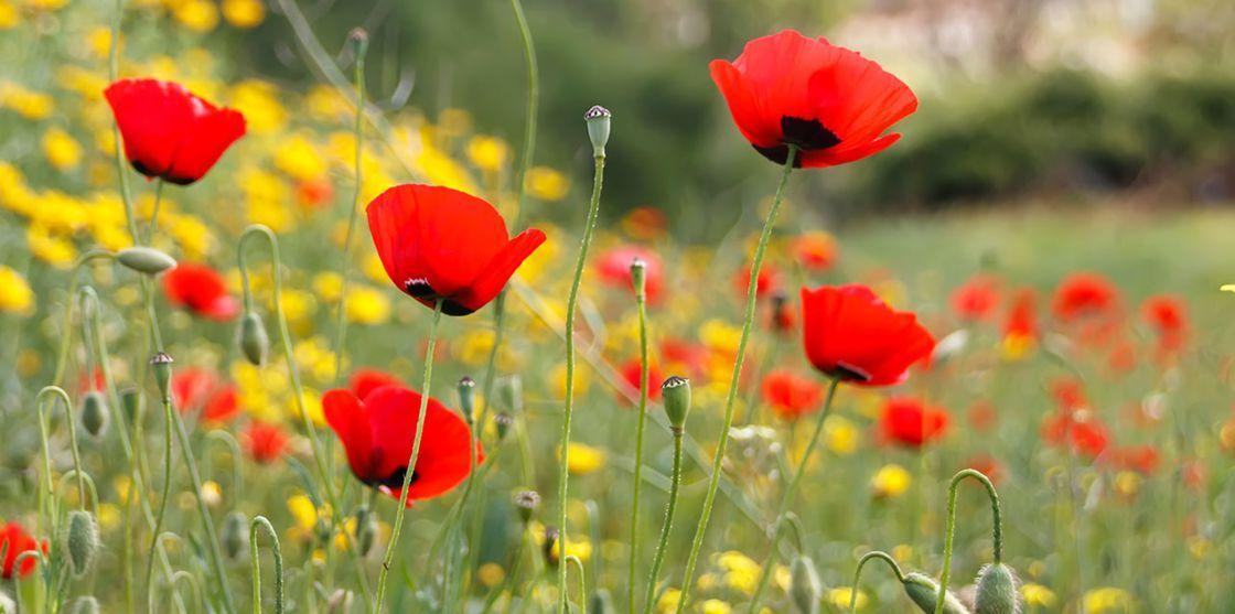Comment semer une jachère fleurie | Coquelicots rouges ...
