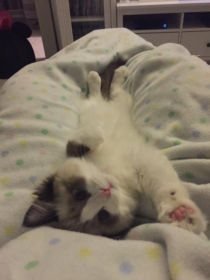 Ragdoll Kittens for Sale in Chicago, Illinois, & Midwest