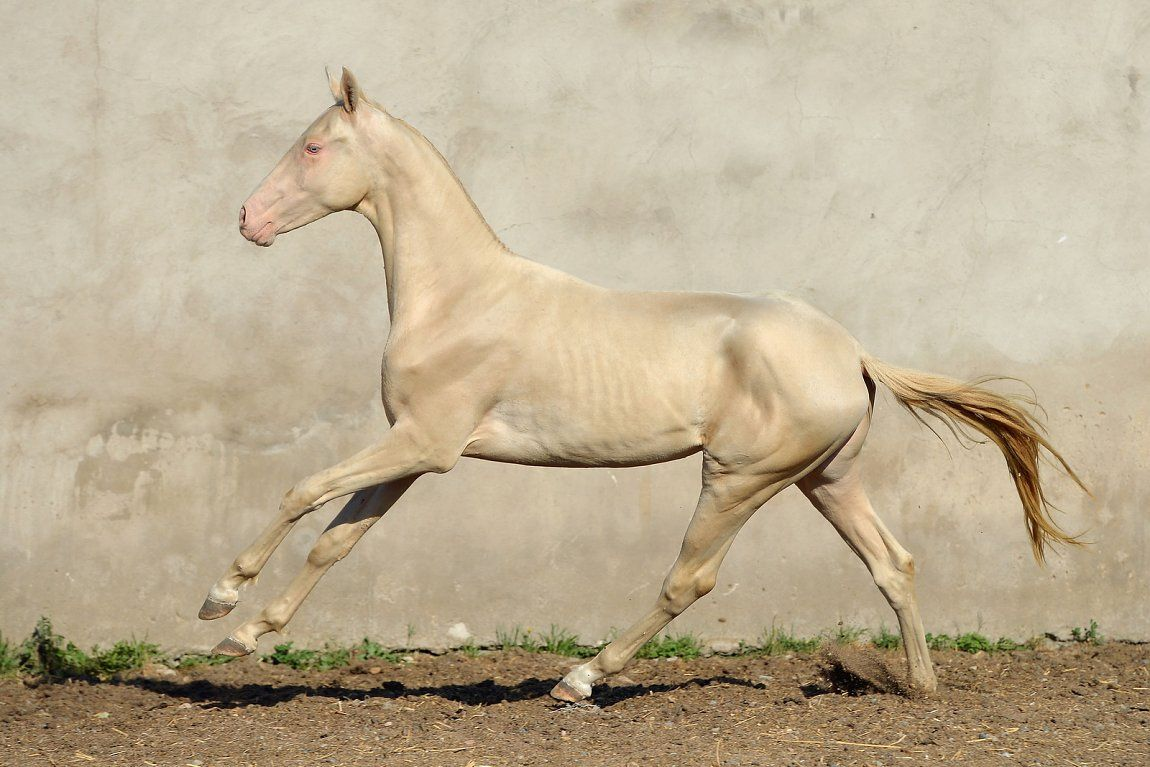 Must see Wallpaper Horse Akhal Teke - e1d89388110649db020712f0a857a8ef  You Should Have_224676.jpg