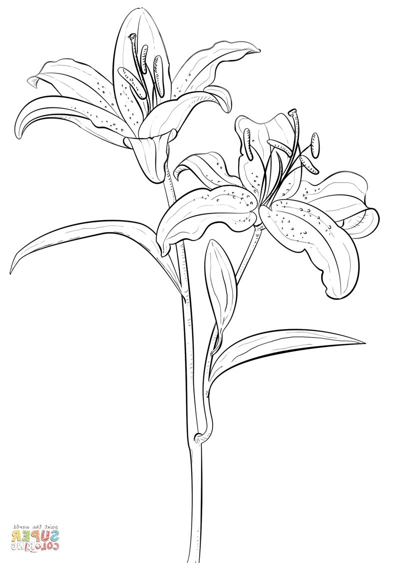 Lily Coloring Coloring Pages Tiger Lily Coloring Pages For Kids