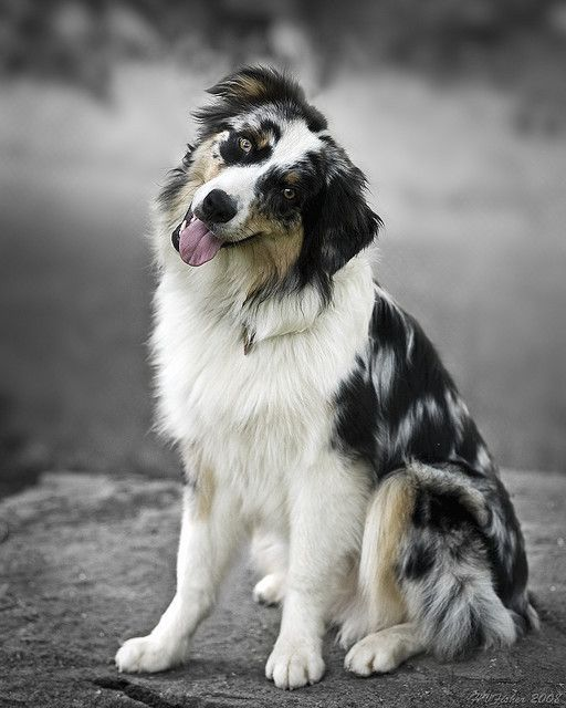 The 43 Best Images About Australian Shepherd Love On Pinterest Australische Schaferhunde Arbeitshunde Aussie Hund