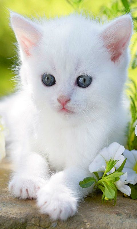 I Love White Cats I Ve Had Several Pure White Cats Cute Cats