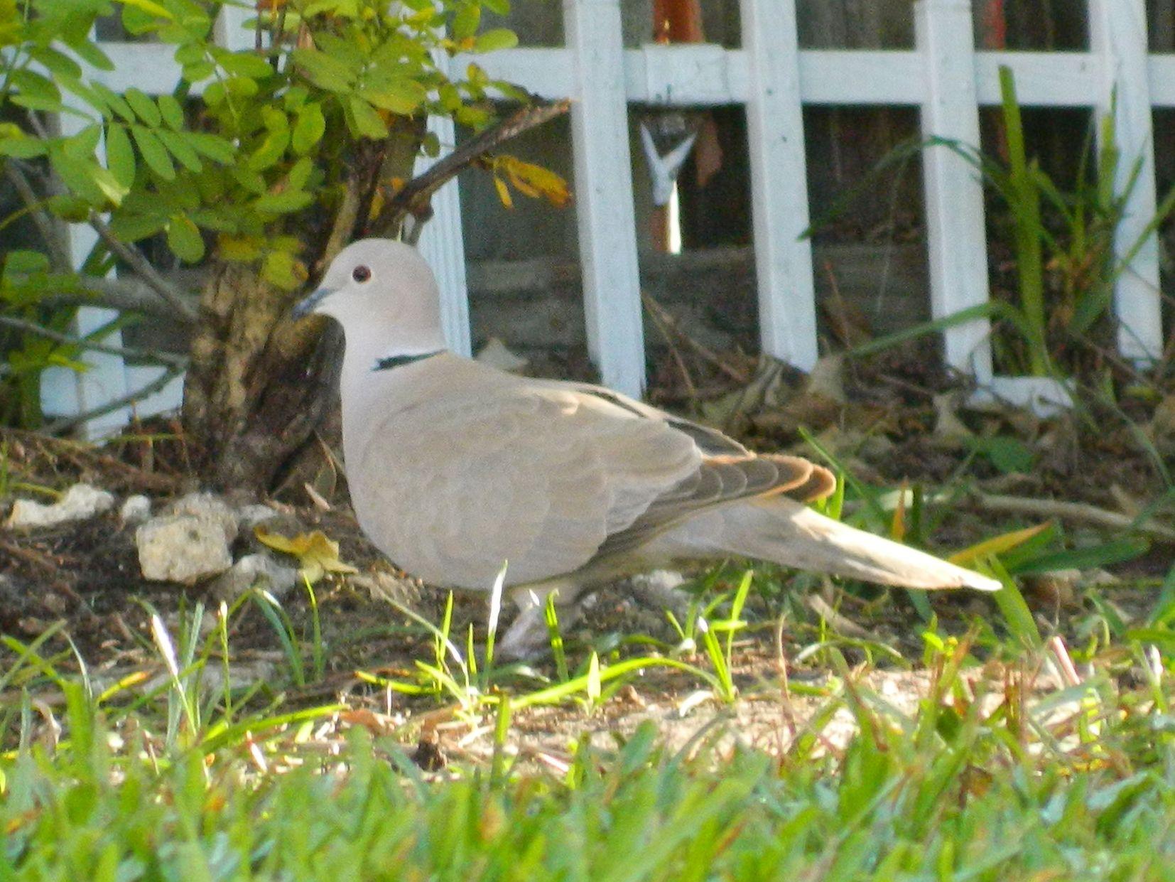 eurasian collared dove in my backyard photo taken by