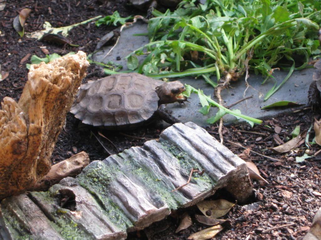 Box turtle care tortoisespot gardening pinterest