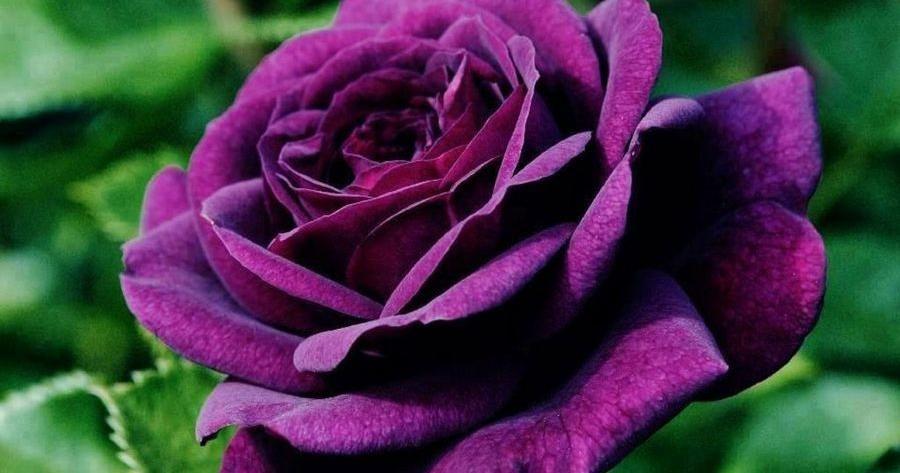 Cómo plantar rosas en el jardín de casa | plantas y huerto ...