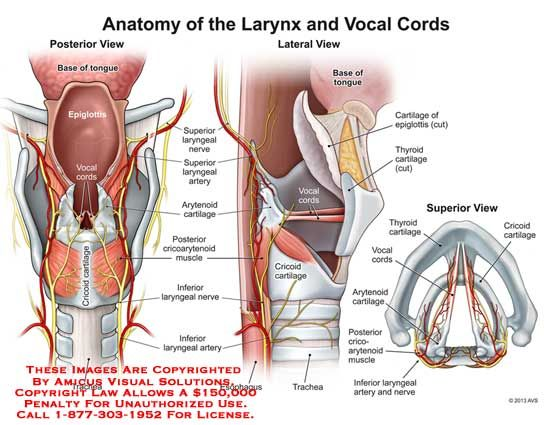 larynx - - Yahoo Image Search Results | Dysphagia | Pinterest