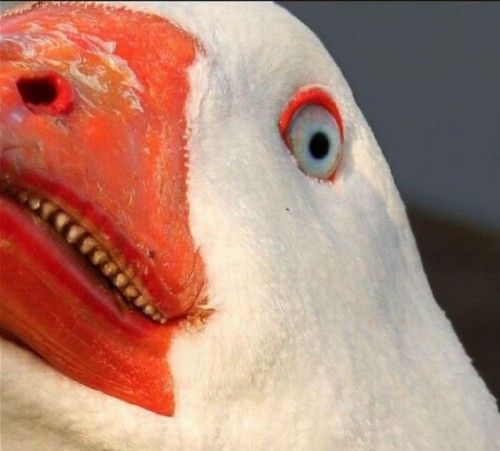 「do geese have teeth」の画像検索結果