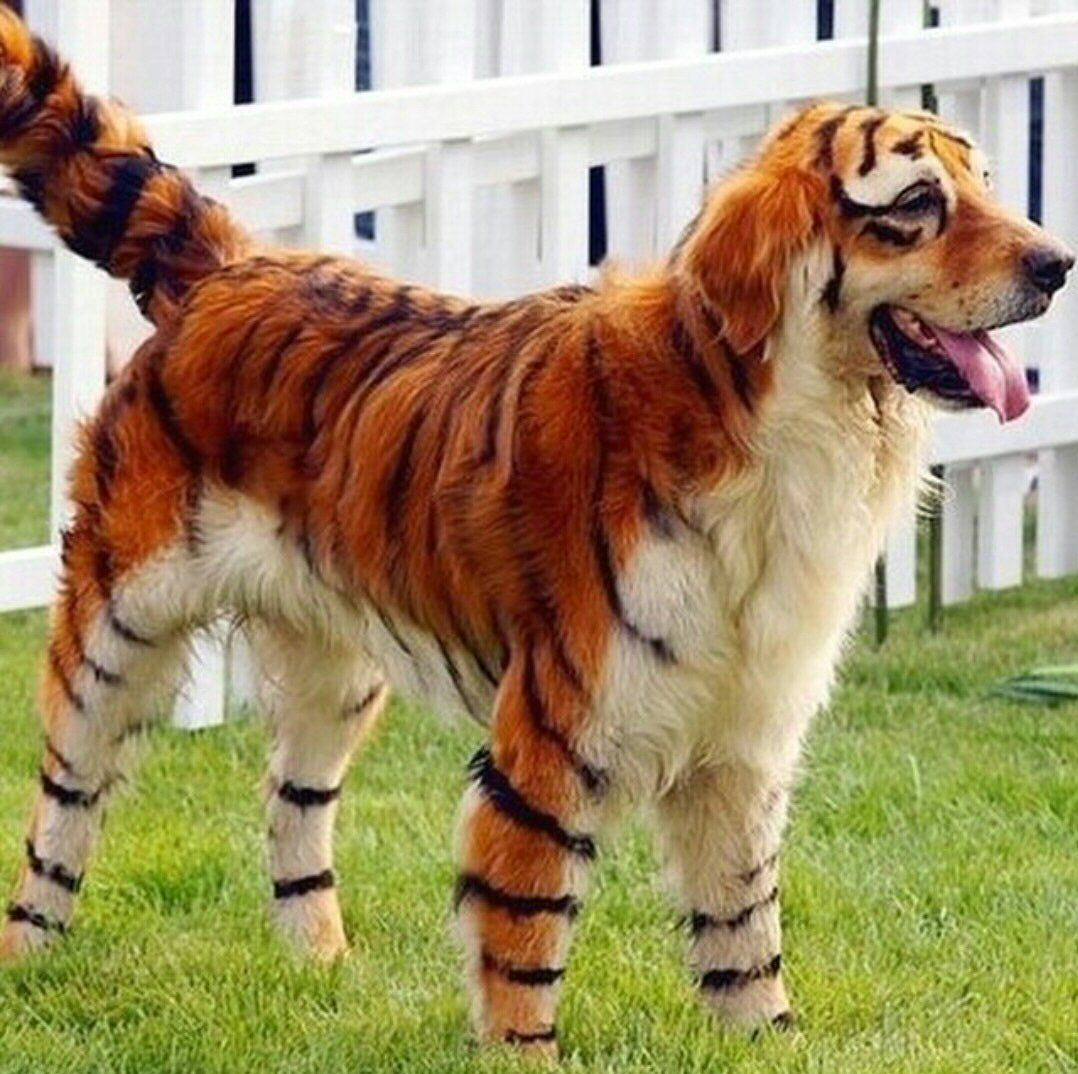 I M Confused Do You Want A Tiger Or A Golden Retriever I Would
