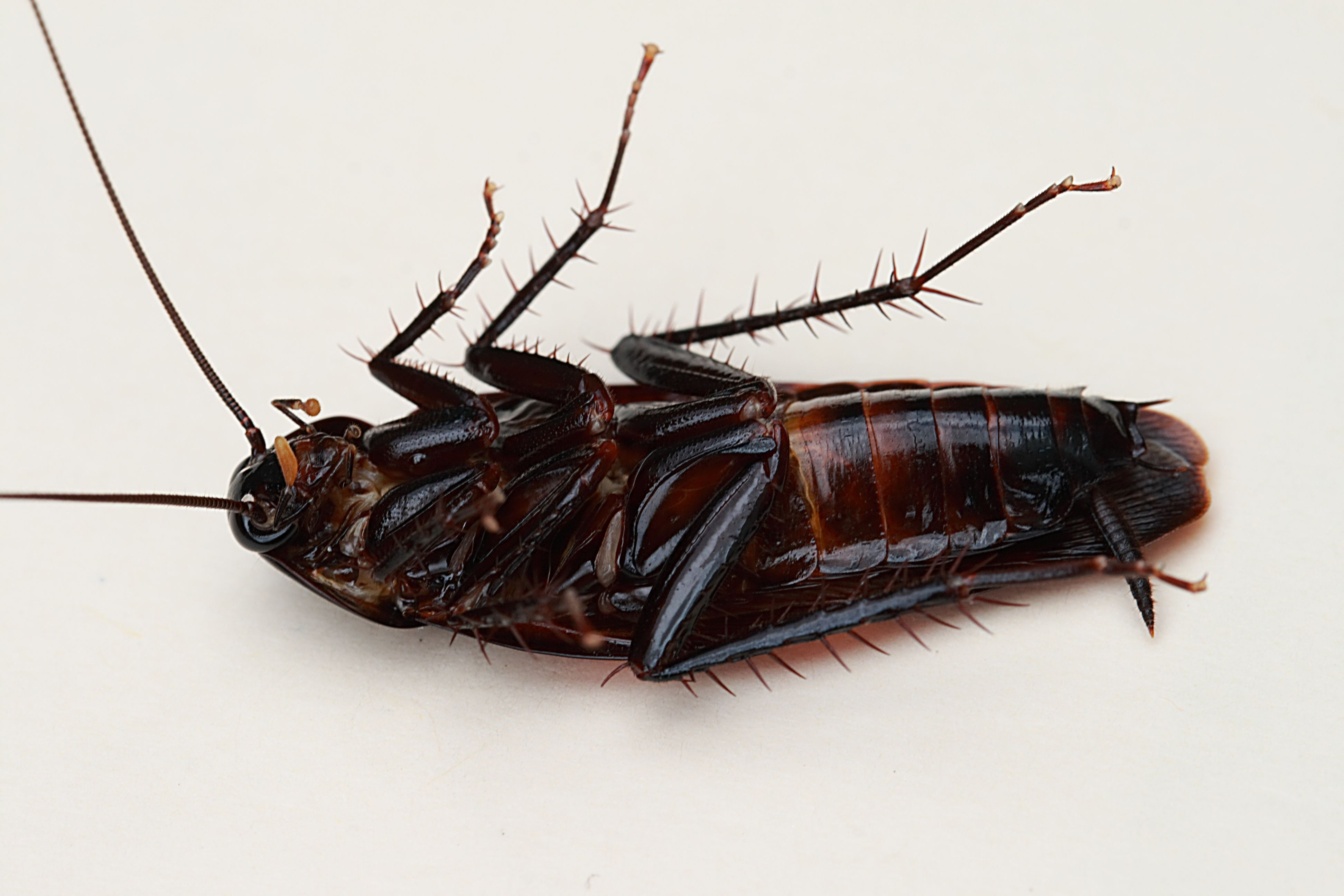 Smokybrown cockroach Wikipedia, the free encyclopedia