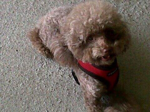 My 7 Year Old Chocolate Toy Poodle Tyler Perry Chocolate Toy