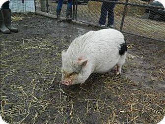 Quakertown Pa Pig Farm Meet Jiggly Puff A Pet For Adoption Pot Belly Pigs Pets Kitten Adoption