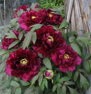 Najpiekniejsze Kwiaty Swiata Piwonia Drzewiasta Floral Floral Wreath Garden