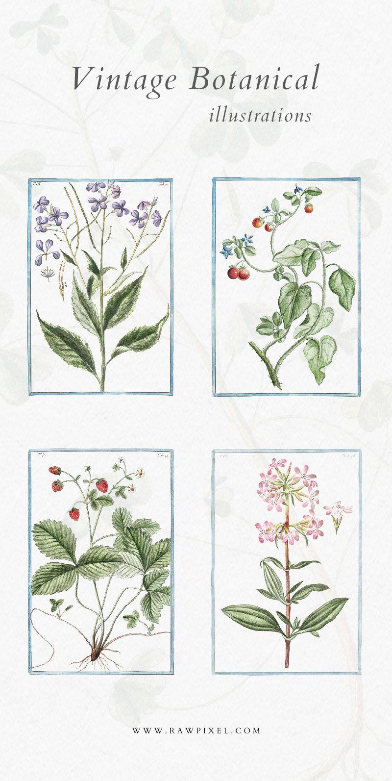 Hortus Romanus Illustrations In 2020 Flower Illustration Botanical Illustration Vintage Botanical Illustration