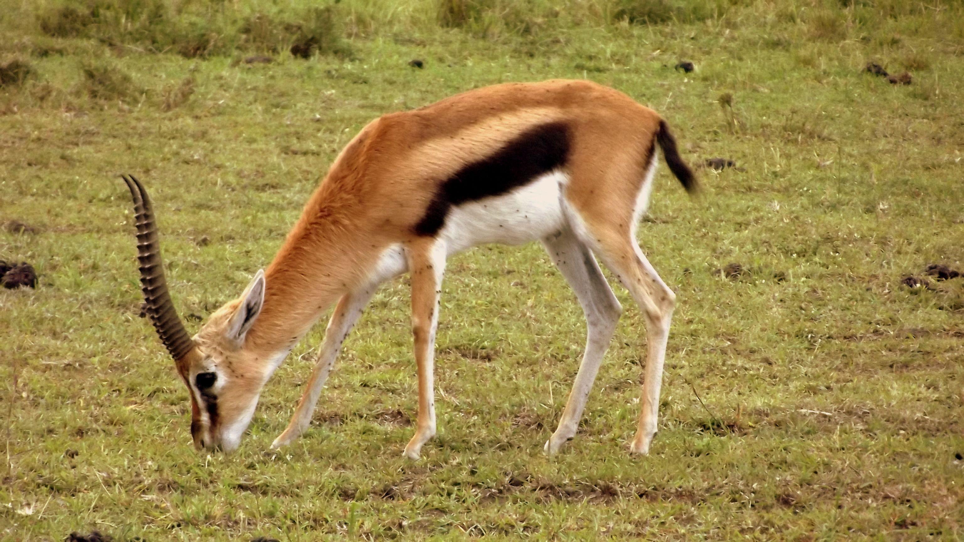 Um lindo impala pastando.