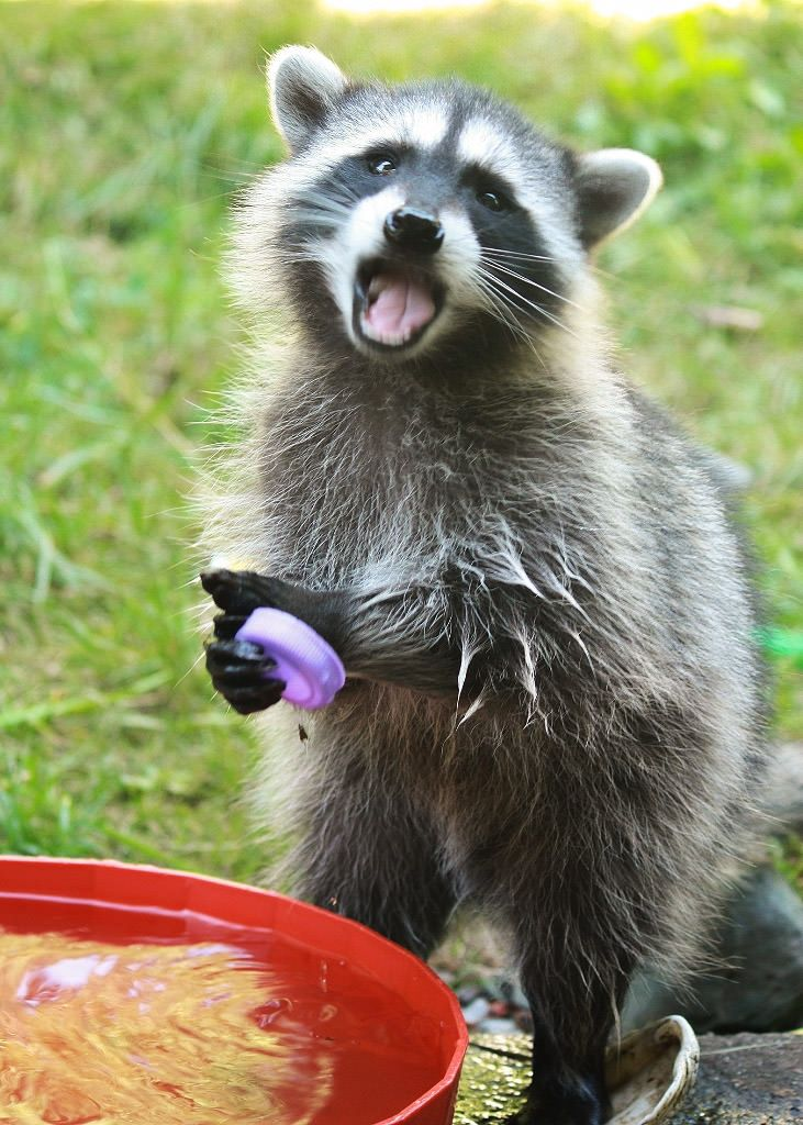 When you're a young raccoon and you've got a pan of water