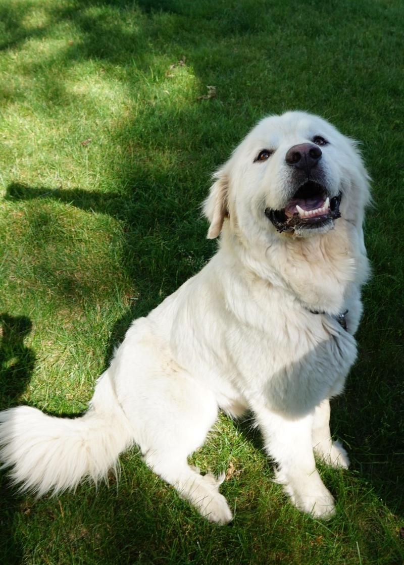 Adopt Xander Adopted On Petfinder Great Pyrenees Dog Great Pyrenees Dogs