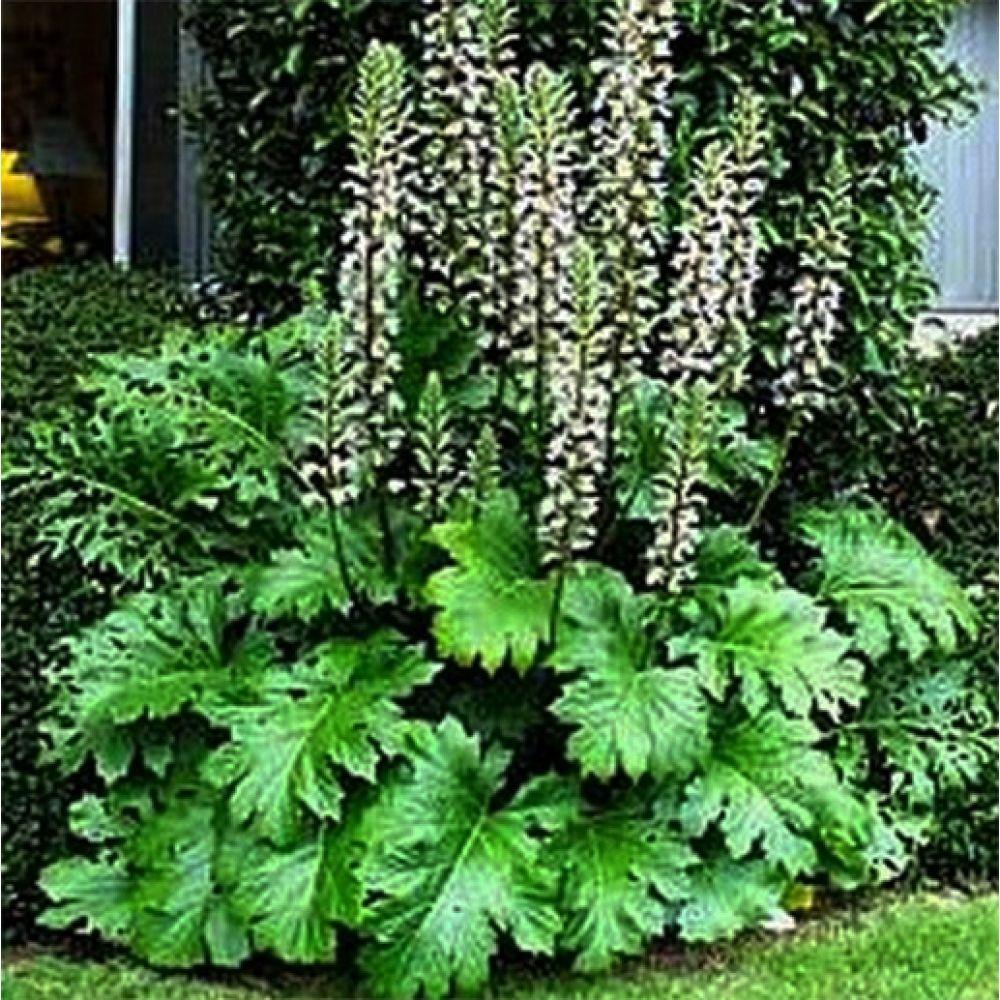 Buy Acanthus Mollis Oyster Plant Flowering Size Ogród Taras