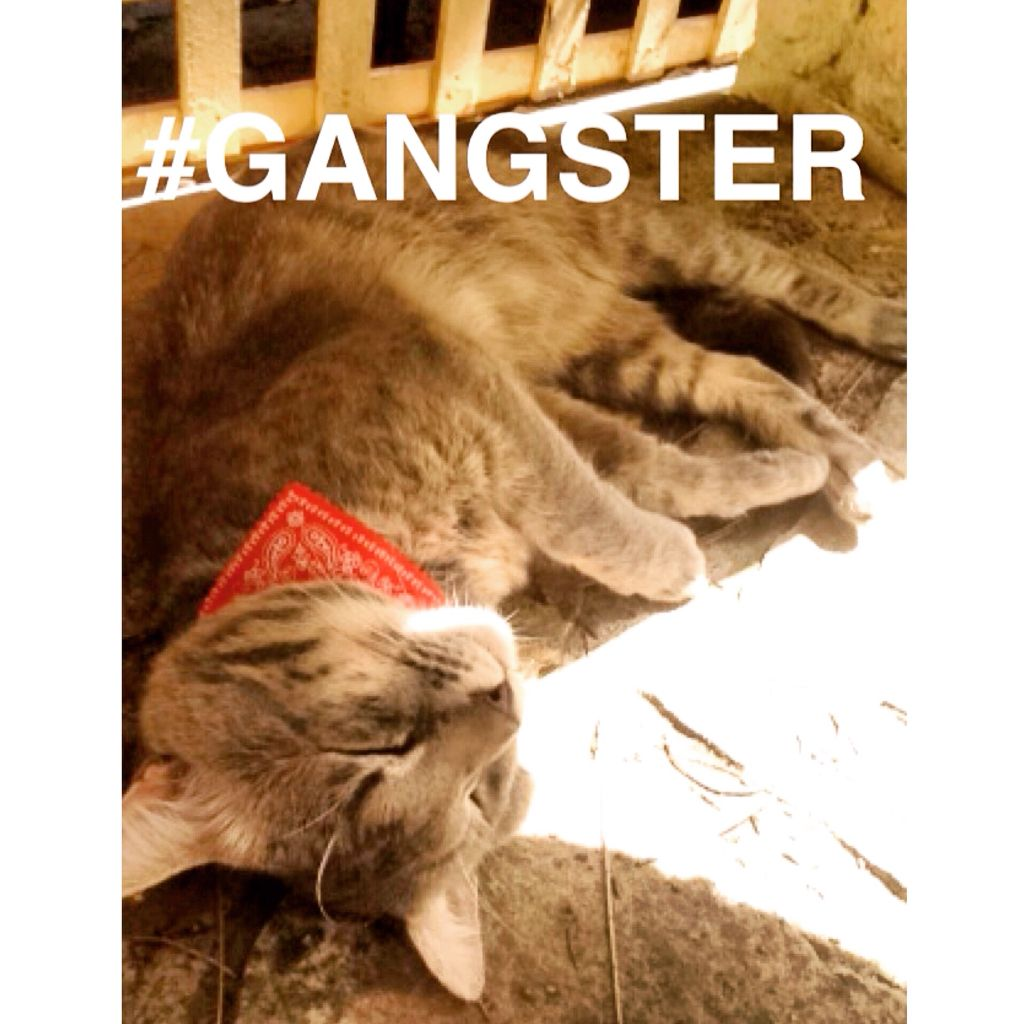 Finally Posted A Picture Of My Cat Gangster Kitty Kitten Meowing Cats Kitty