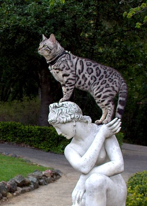 Silver leopard Bengal cat and statue friend. At least she's a statue while the camera is on...