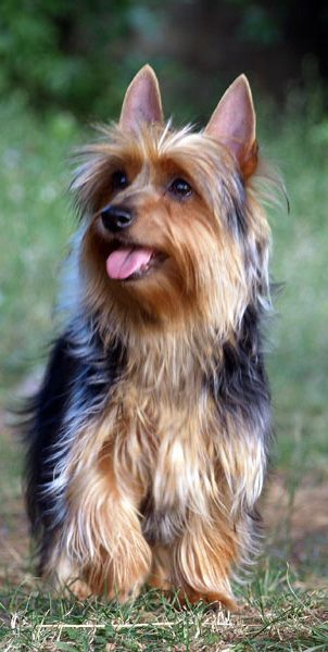 Australian Silky Terrier Australian Silky Terrier Australian
