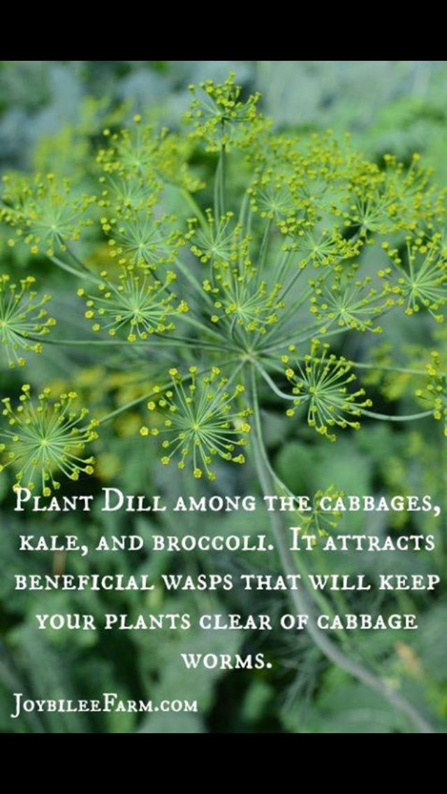 Plant dill with cabbage, kale, and broccoli to attract beneficial insects.