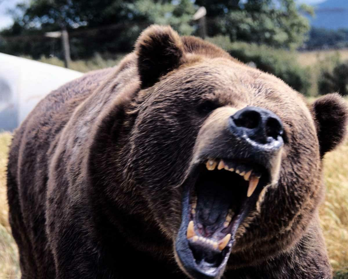 Bear roaring gif
