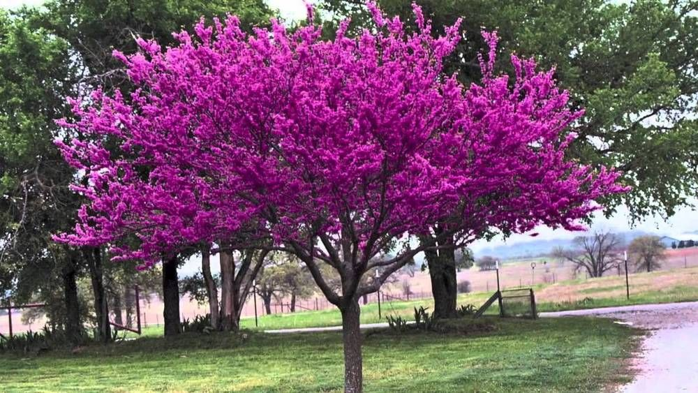 You Are Purchasing 15 Eastern Redbud